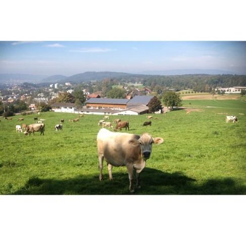 cow zurich